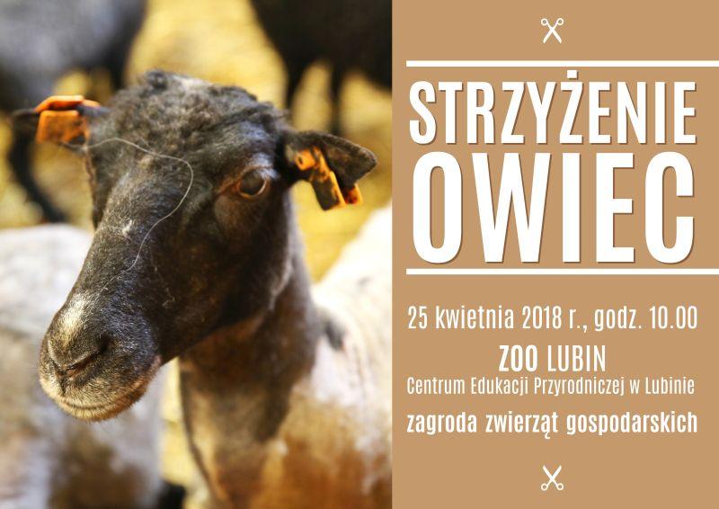 Strzyżenie owiec w ZOO Lubin
